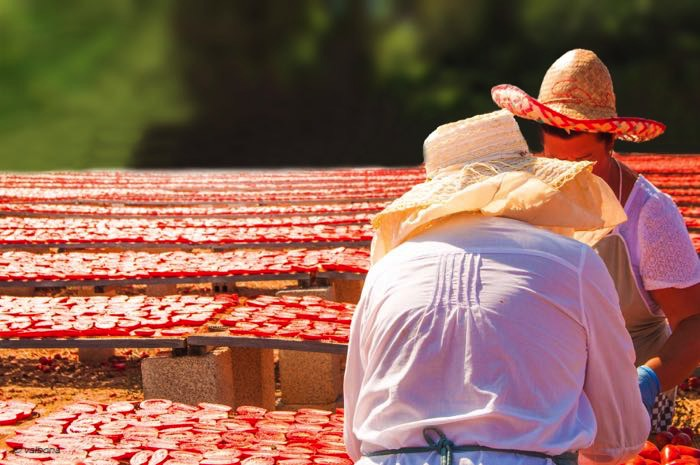 taglio pomodori in salento