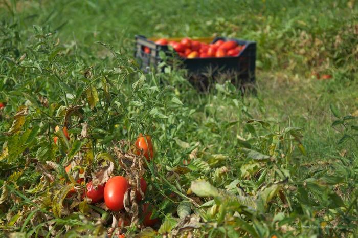 pomodori raccolti