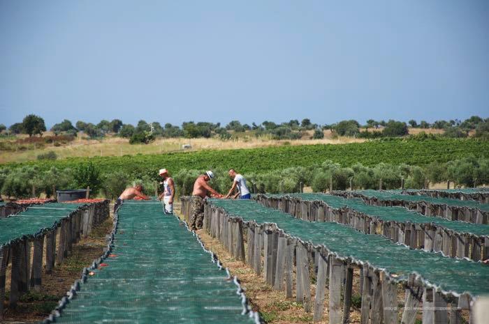 raccolta-pomodori-secchi