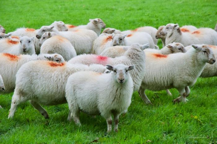 agnello gallese