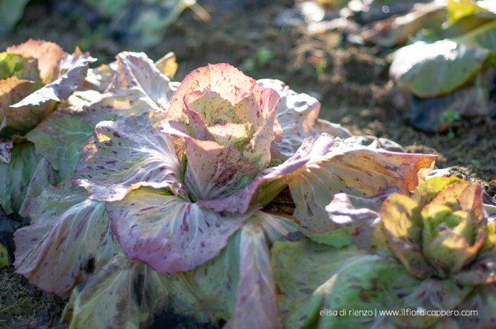 radicchio variegato di Castelfranco in campo